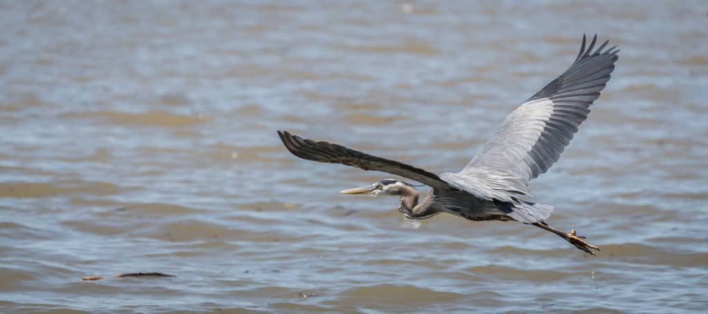 Blue heron flies over lake