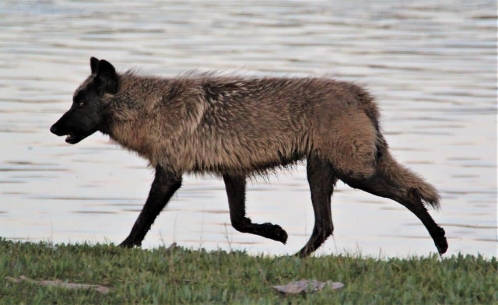 Wolf near Yellowstone lake
